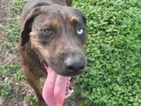 Catahoula Leopard Dog - Lacey - Large - Young - Female