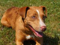 Catahoula Leopard Dog - Lizzy - Large - Young - Female