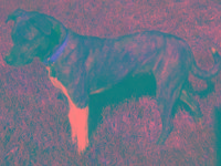 Catahoula Leopard Dog - Mocha - Medium - Adult - Female