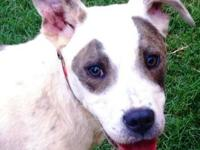 Catahoula Leopard Dog - Petey - Medium - Young - Male -