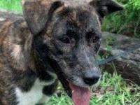 Catahoula Leopard Dog - Tippy - Medium - Young - Female