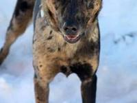 Catahoula Leopard Dog - Walnut - Medium - Adult -