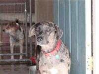 Catahoula Leopard Dog - Zoey - Medium - Adult - Female