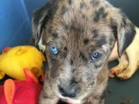 Purebred very healthy 8 week old purebred catahoula