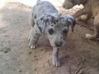 Full blood catahoula puppies, no papers out of working