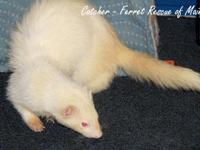 Catcher is a 7 year-old senior male ferret.  Catcher