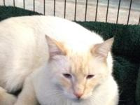 """Merlin"" is a Male Flame Point Siamese/Tonkinese"