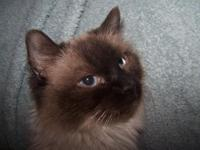 We are looking to rehome some of our older Ragdoll and