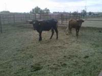 Longhorn / Corriente cross. Around 550 - 650 lbs. Grass