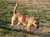 Cattle Dog - Angus - Medium - Young - Male - Dog Hi my