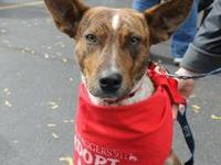 Cattle Dog - Ashley - Medium - Young - Female - Dog