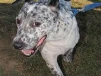 Cattle Dog - Astrid - Medium - Adult - Female - Dog
