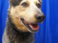 Cattle Dog - Blue - Medium - Adult - Male - Dog Blue.