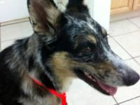 Cattle Dog - Buppy - Large - Adult - Female - Dog Buppy