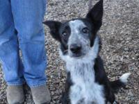 Cattle Dog - Chaos - Medium - Young - Female - Dog She