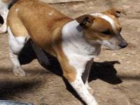 Cattle Dog - Dusty - Medium - Young - Female - Dog