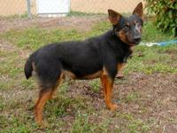 Cattle Dog - Eddie - Medium - Adult - Male - Dog NAME: