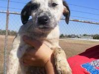 Cattle Dog - Landon - Medium - Baby - Male - Dog Hello!