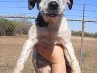 Cattle Dog - Larry - Medium - Baby - Male - Dog Hello!