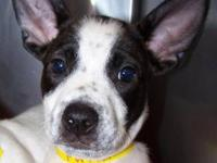 Cattle Dog - Mitch - Medium - Baby - Male - Dog Please