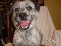 Cattle Dog - Oreo - Medium - Young - Male - Dog