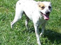 Cattle Dog - Patch - Medium - Young - Male - Dog Patch