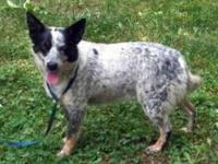 Cattle Dog - Pepper - Medium - Adult - Female - Dog