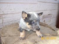 purebred heeler puppy, Queensland, Australian cattle