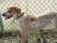 Cattle Dog - Rascle - Medium - Young - Male - Dog
