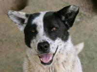Cattle Dog - Rocket - Large - Adult - Male - Dog We