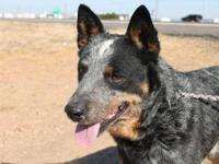 Cattle Dog - Scotch - Small - Adult - Male - Dog