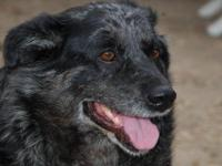 Cattle Dog - Shinu - Large - Adult - Female - Dog Shinu