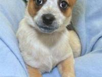 Cattle Dog - Sierra - Large - Baby - Male - Dog Meet
