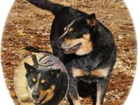 Cattle Dog - Thelma And Louise - Large - Adult - Female