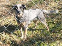Cattle Dog - Tixie - Medium - Adult - Female - Dog