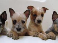 Description 4 Male, 4 Female, Australian cattle dog