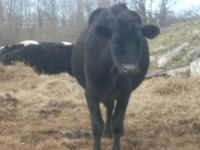 I am selling two Holstein heifers and an Angus-crossed