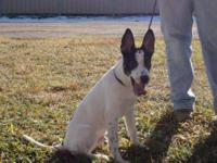 Cattle Dog - Diego - Medium - Baby - Male - Dog Diego