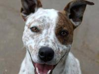 Cattle Dog - Ewboo - Medium - Adult - Male - Dog Ewboo