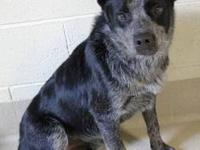 Cattle Dog - Sparky - Medium - Young - Male - Dog