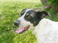 Cattle Dog - Willy - Medium - Adult - Male - Dog Willy