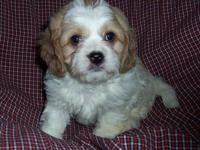 Beautiful Cavalier/Bichon puppies. Mom is a purebred