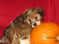Cava-Poo-Chon Puppy for Sale - Teddy Bear Pups - 8 Weeks for
