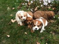 Very nice puppies shots and wormed ready to go. Mother