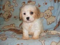 this sweet little lady is a First generation Cavachon