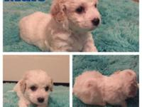 Cavachon Puppies 6 weeks old. $300 Located in
