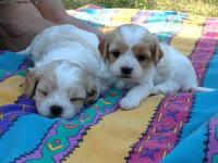 Beautiful Puppies!! Will be available July 31st at 10