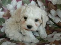 Adorable tiny baby girl cavachon needs her forever