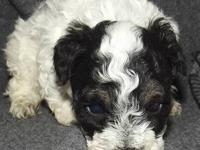 READY TO GO, Gorgeous Cavachon male Puppy he is sired