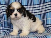 Adorable Cavachon Puppies ready now! We have 1 male and